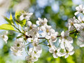 Tree brunch with white spring blossoms in sunny day Royalty Free Stock Photo