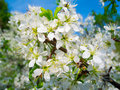 Tree brunches with white flowers Royalty Free Stock Photography