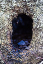 Tree burrow closeup of a in a hornbeam trunk Royalty Free Stock Photo