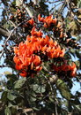 Tree of butea monosperma flowers commonly known as palash in india Royalty Free Stock Photos