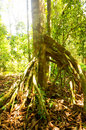 Tree with buttress roots in tropical rainforest at state park kuala rompin pahang malaysia Stock Image
