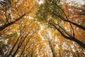 Tree canopy in autumn beech forest Royalty Free Stock Photo
