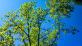 Tree canopy and blue sky in sunny day Royalty Free Stock Photo