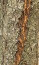 Tree of cherry, bark tree, texture Royalty Free Stock Photo