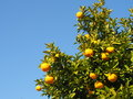 Tree of the citrus fruit is ripe Royalty Free Stock Photo