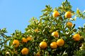 Tree of the citrus fruit is ripe Royalty Free Stock Photos