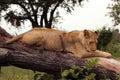 Tree-climbing lion, Serengeti, Africa Royalty Free Stock Photo
