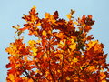 Tree colorful leaves of oak in autumn Stock Photo