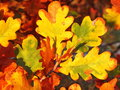 Tree colorful leaves of oak in autumn Royalty Free Stock Photo