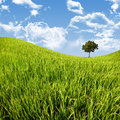Tree in cornfield with blue sky Royalty Free Stock Photo
