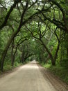 Tree covered dirt road country by a canopy of oak trees Stock Images