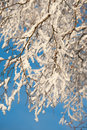 A tree covered in frost on a sunny Winter day. Royalty Free Stock Images