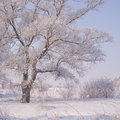 A tree covered with glaze ice feathers Royalty Free Stock Images