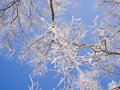 A tree covered with glaze ice feathers Stock Photography