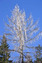 Tree covered by icicles birch branches Royalty Free Stock Photo