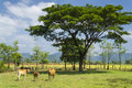 Tree and cows. Laos. Royalty Free Stock Photos