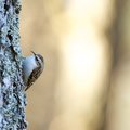 Tree-creeper (Certhia familiaris) Stock Photo