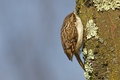 Tree creeper, Certhia Familiaris Royalty Free Stock Photo