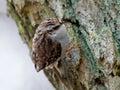 Tree creeper - Certhia familiaris