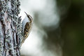 Tree-creeper (Certhia familiaris) Royalty Free Stock Photo