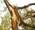 Tree damaged by lightning bolt