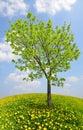 Tree on dandelions field. Royalty Free Stock Photo