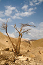 Tree in desert Arava Stock Images