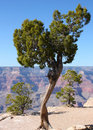 Tree on the edge of the Grand Canyon in Arizona Royalty Free Stock Photo