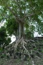 Tree with exposed roots Royalty Free Stock Photo