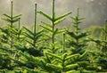 Tree Farm Royalty Free Stock Images