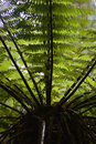 Tree Fern 02 Stock Photography