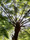 Tree Fern Canopy Royalty Free Stock Photo