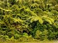 Tree Fern, Tropical Rain Forest Royalty Free Stock Photo