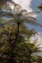 Tree ferns photo of fern in a rainforest of ancient myrtle beech in the world heritage area Royalty Free Stock Photography