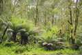 Tree ferns in rainforest Royalty Free Stock Photo