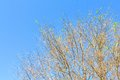 Tree with few leaves against blue sky Stock Photo