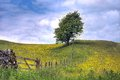 Tree in field of buttercups a lone standing a hay meadow with Royalty Free Stock Images