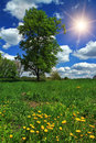 Tree in a field with dandelions summer Royalty Free Stock Photography