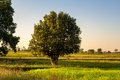 Tree in field tropical single the Royalty Free Stock Photo