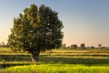 Tree in field tropical single the Royalty Free Stock Image