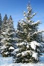 Tree a fir-tree is in-field covered by white snow Royalty Free Stock Photos