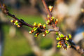 Tree flower buds spring on branches Stock Image