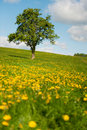 Tree in flower fields Royalty Free Stock Photo