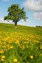 Tree in flower fields Royalty Free Stock Photo