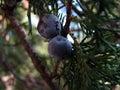 Tree focusing on berry summer crimea Stock Photos