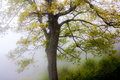 Tree in fog with bright green spring leaves Stock Photography
