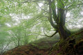 Tree in foggy forest Royalty Free Stock Photos