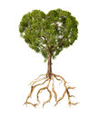 Tree with foliage with the shape of a heart and roots as text lo love on white background Royalty Free Stock Images