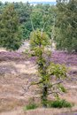 Tree in foreground with blooming heath and birches at day. Royalty Free Stock Photo