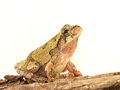 Tree frog against white background Stock Photos